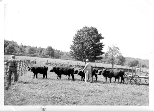 This photograph of the last four-yoke ox team in Lyme, Conn., is a recent acquisition of the Lyme Local History Archives.