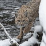 Old Lyme Land Trust Presents Speaker on Bobcats at Annual Meeting This Afternoon; All Welcome