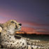 Putting the Spotlight on Cheetahs, Raising Funds in Old Lyme for Their Conservation, Nov. 9